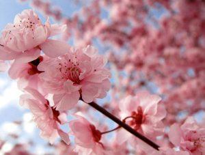 cherry blossom  300x227 - New Beginnings